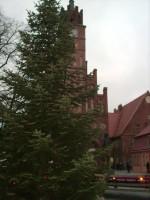 Die 11 Meter hohe Tanne vor dem Altstädtischen Rathaus